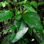 Anthurium lancifolium
