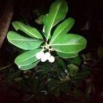 Calophyllum calaba Feuille
