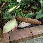 Anthurium cotobrusii
