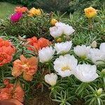 Portulaca grandiflora 花