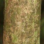 Eugenia pseudopsidium