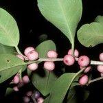 Ficus concinna