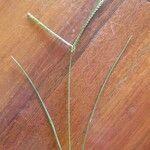 Eleusine coracana