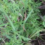 Sphaeralcea pedatifida