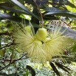 Syzygium samarangense