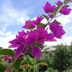 Bougainvillea glabra 花