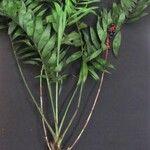 Chamaedorea stenocarpa