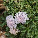 Lomelosia crenata