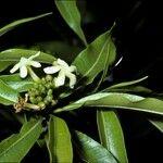 Tabernaemontana persicariifolia