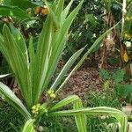 Crinum asiaticum Lehti