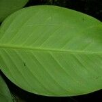 Philodendron opacum