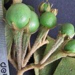 Solanum rudepannum