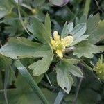 Ranunculus parviflorus