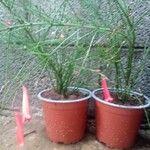 Russelia equisetiformis 花
