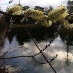 Salix aegyptiaca