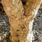 Cordyline fruticosa Kaarna