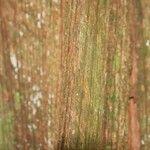Amaioua guianensis