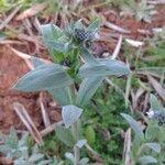 Linaria micrantha