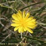 Launaea lanifera