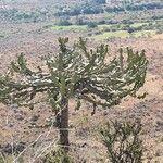 Euphorbia magnicapsula