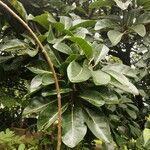 Ficus thonningii Leaf