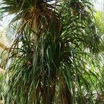 Beaucarnea pliabilis