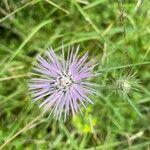 Galactites tomentosus Flower