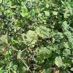 Solanum scabrum