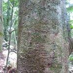 Tachigali melanocarpa