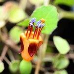 Fuchsia procumbens