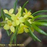 Thymelaea calycina