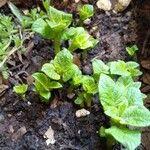 Solanum tuberosum 葉