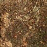 Balizia pedicellaris