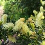 Acacia rigidula