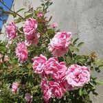 Rosa luciae