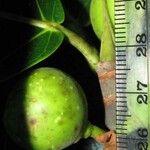 Ficus crocata