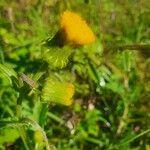 Crassocephalum picridifolium