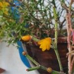 Rhipsalis clavata