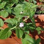 Clinopodium brownei