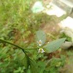 Solanum nigricans