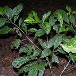 Sloanea guianensis