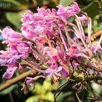 Epidendrum atacazoicum