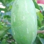 Coccinia grandis Leaf