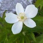 Anemone canadensis Flower