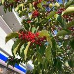 Ilex rotunda Fruit