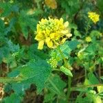 Sinapis arvensis Flor