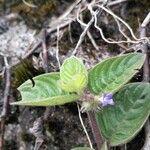 Coccocypselum hirsutum