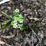 Euphorbia corollata Pokrój