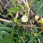 Leucaena leucocephala Virág