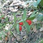 Ruscus aculeatus Frucht